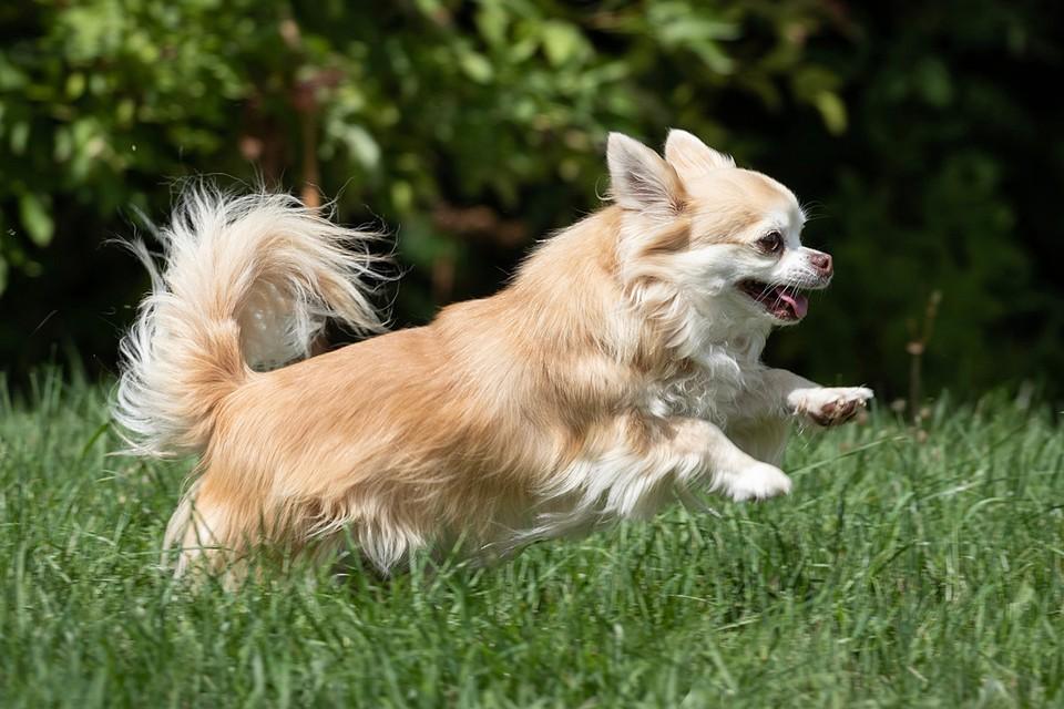 В США пес породы чихуахуа спас от смерти своего хозяина