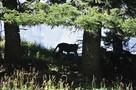 Появилось видео выпуска леопардов в дикую природу в Сочи