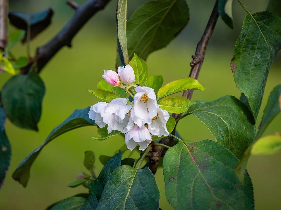 В Красноярске второй раз в год зацвела яблоня. Фото: парк флоры и фауны «Роев ручей».