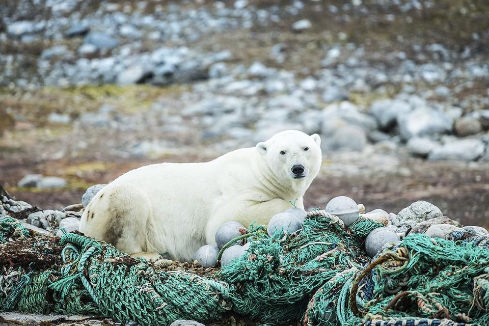 Конфликтов белых медведей с людьми становится все больше.