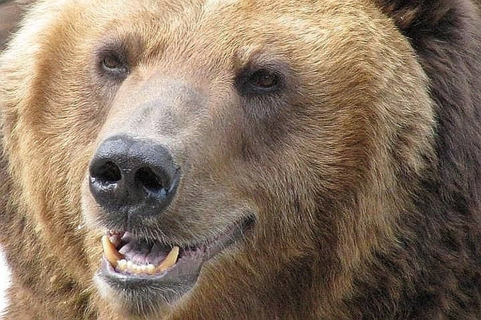 """""""Успели снять медведя на видео"""": косолапый, услышав звук мотора, вышел """"проверить"""" автомобили."""