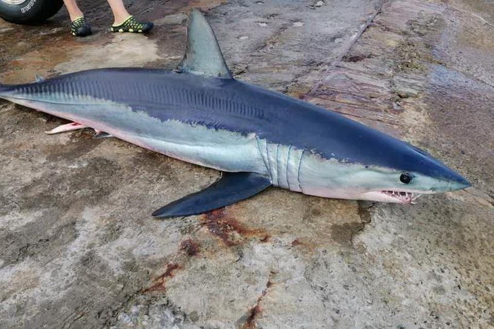 Загарпуненная в Амурском заливе акула-мако. Фото: VL.ru