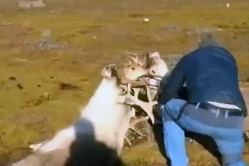 В тундре драчуны сцепились рогами и едва не погибли. Стоп-кадр видео