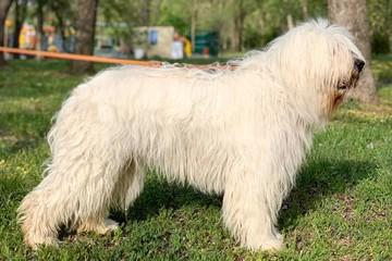 Южнорусская овчарка: фото, характер, описание породы собак