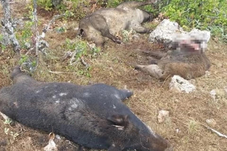Во время похода по склону горы Кильсе-Бурун туристы заметили погибших кабанов. Фото: страница в Facebook Евгения Бондаренко