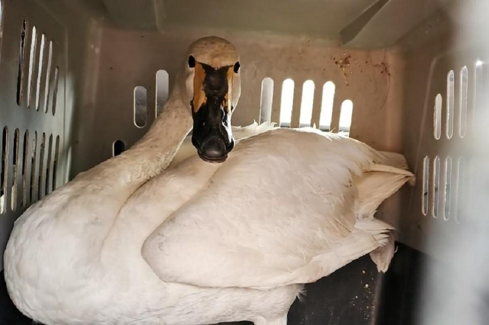Краснокнижного лебедя спасли сотрудники Иркутской зоогалереи. Фото: Иркутская зоогалерея