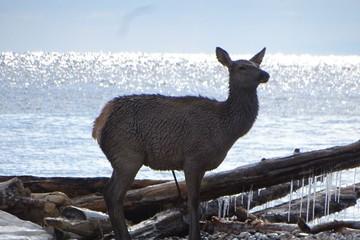 Едва не разорвали в клочья: олененка спасли от стаи собак на берегу Байкала