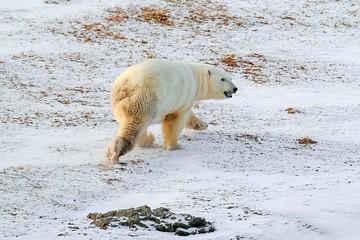 Путешествие по Якутии: Арктика, бухта Амбарчик и белые медведи