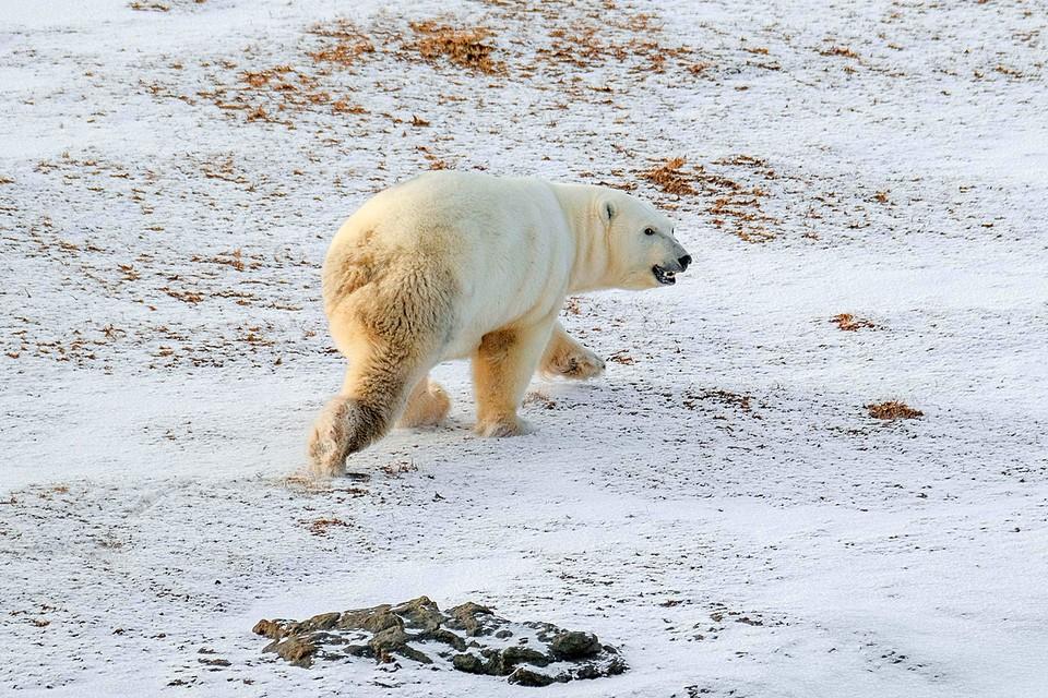 Белый медведь в целом не самое агрессивное животное. Фото Максима Рязанцева