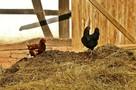 Погибают кролики и курицы: «чупакабра» орудует в одной из деревень Удмуртии