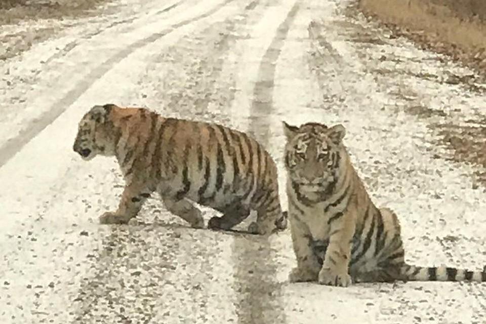 """Два тигренка вышли на дорогу, идущую сквозь приморскую тайгу. Скриншот видео, предоставленного Центром """"Амурский тигр"""""""