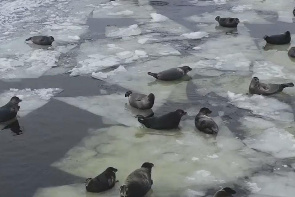 """""""Кругом одни нерпы, красота невероятная"""": байкальские тюлени выбрались на первый лед."""