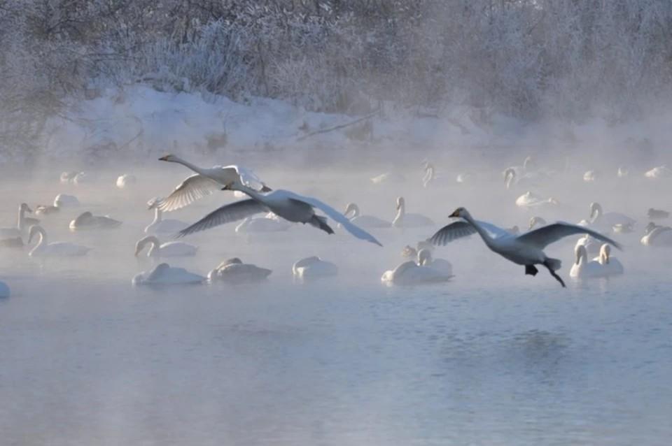Пока что точно не скажешь, сколько лебедей уже прилетело в Алтайский край