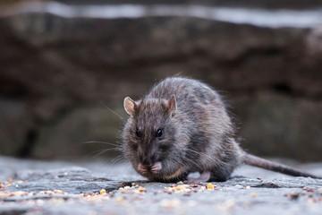Нью-Йорк заполонили гигантские крысы