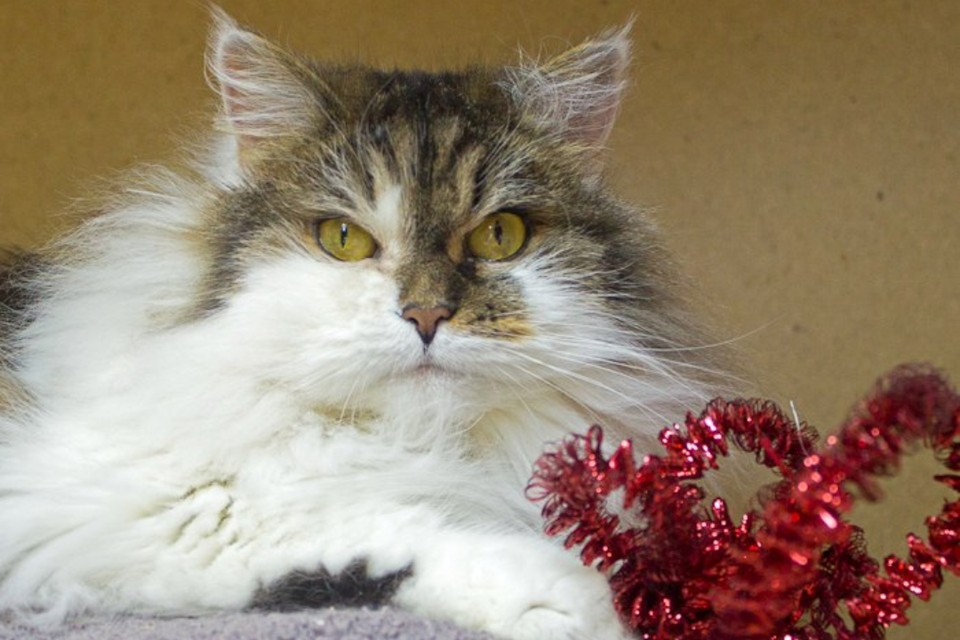 Ася будет ласковым питомцем, если заслужить ее доверие. Фото предоставлено мини-приютом «Кошкин дом».
