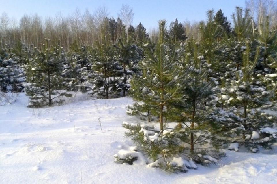 К тому же придется возместить ущерб - 2,4 тысячи рублей за каждое дерево