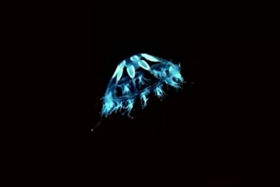 """На глубине в несколько километров медузы становятся похожими на """"летающие тарелки""""."""
