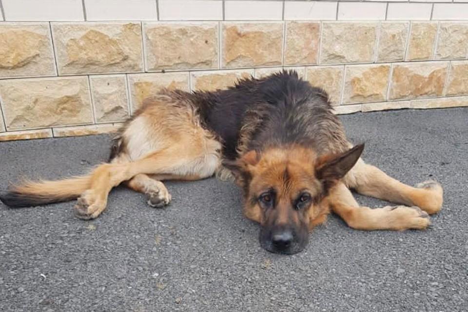 «Пес уже не вставал»: Домохозяйка из Петербурга перевезла из Осетии умирающую овчарку, фото которой увидела в соцсетях