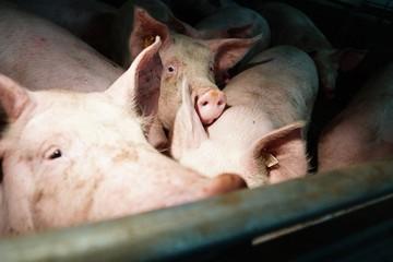 В Свердловской области введен карантин по африканской чуме свиней