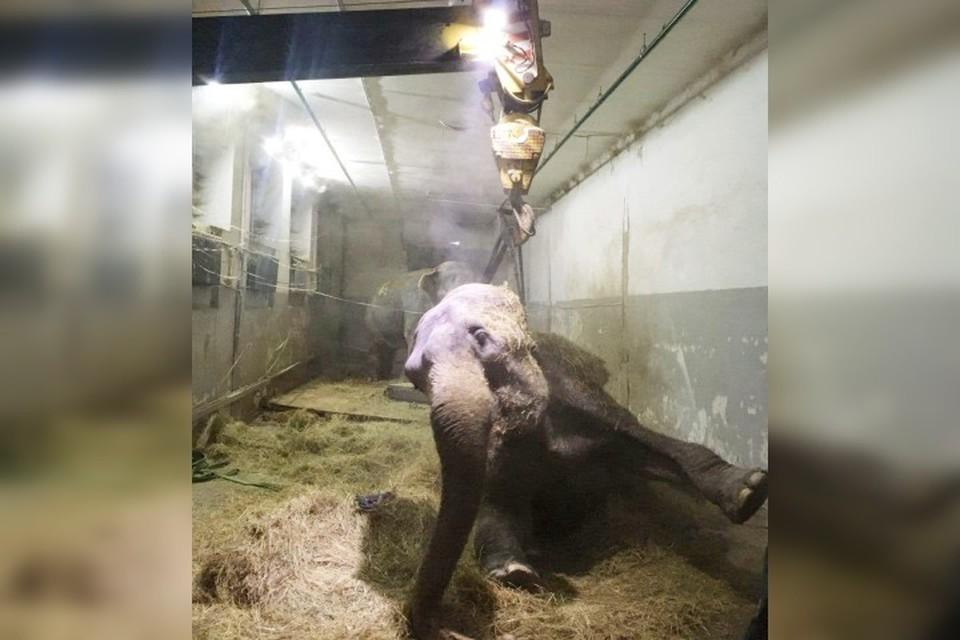 Слониха упала в слоновнике и уже не могла подняться сама. Фото предоставил очевидец.