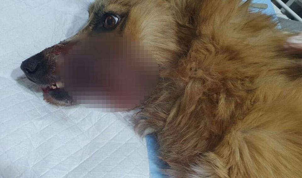"""«Я уверена, что это сделали люди»: в Кузбассе спасают собаку, у которой в пасти взорвалась петарда. ФОТО: vk.com, """"Сохрани жизнь. Помощь бездомным животным"""""""