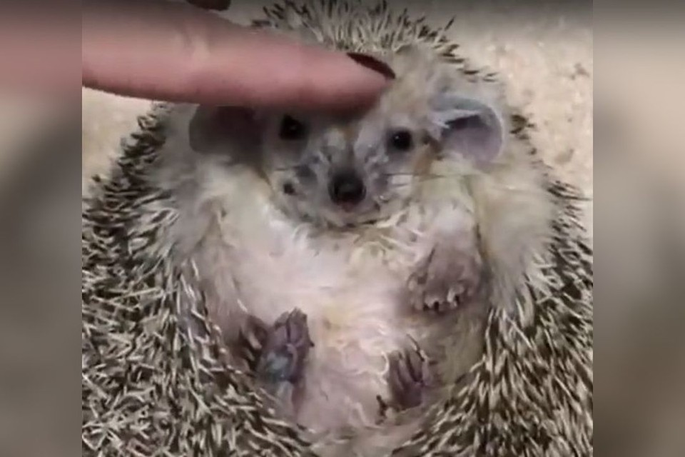 """Ветеринары удивлены - не часто к ним приносят ежей. Фото: предоставлены ветклиникой """"БЭСТ"""""""