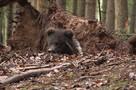 До весны не будить: биологи показали берлогу Пужи из центра спасения медвежат