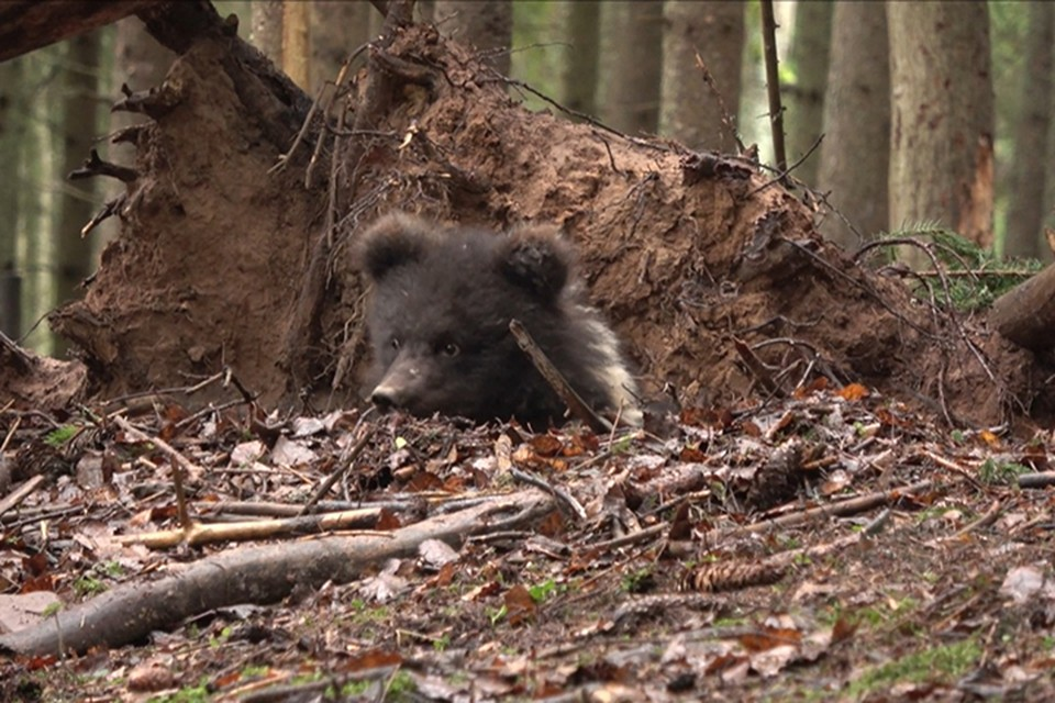 Медведица облюбовала место под вывороченным корнем упавшей сосны Фото: orphan-bear.org