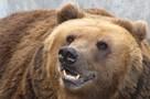 «Садики и школы рискнули открыть». Медведя-шатуна, устроившего переполох в прикамском поселке, попытаются уложить на зиму в берлогу