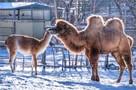 Верблюд гуанако товарищ: в ростовском зоопарке показали, как подружились животные