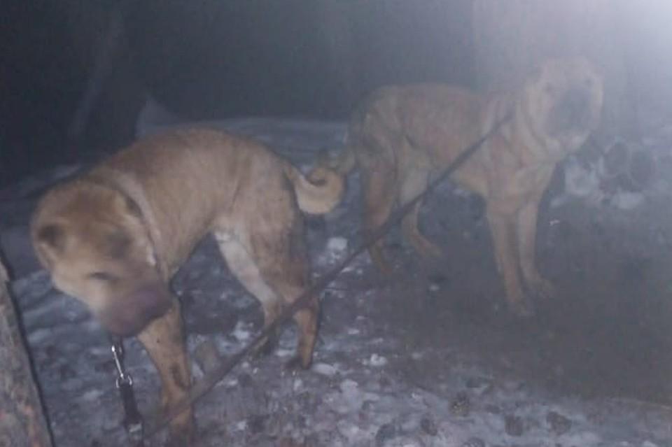 «Они выли и рыли землю»: жители Челябинска спасли шарпеев, оставленных хозяйкой на морозе в лесу