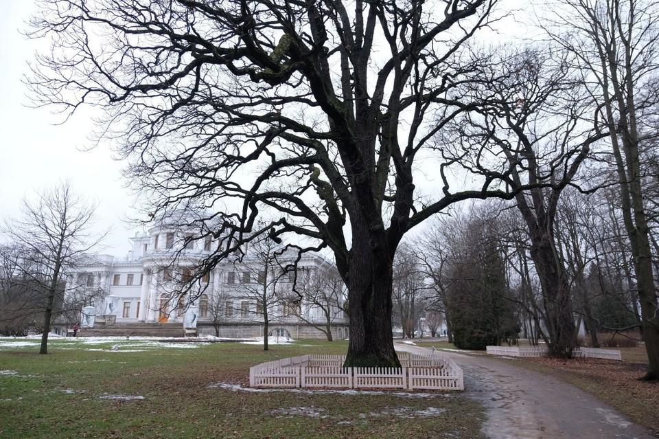 Хранитель легенд: 300-летний дуб на Елагином острове получил статус памятника живой природы