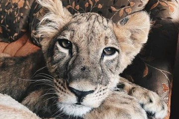 Маленькую львицу с больными глазами спасают из съемной квартиры в Петербурге