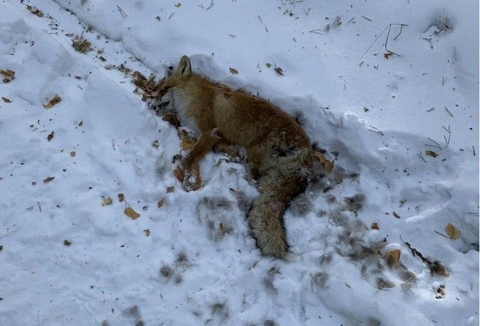 Такую страшную находку сделали отдыхающие, катавшиеся на лыжах. Фото: «ЧП Омск»