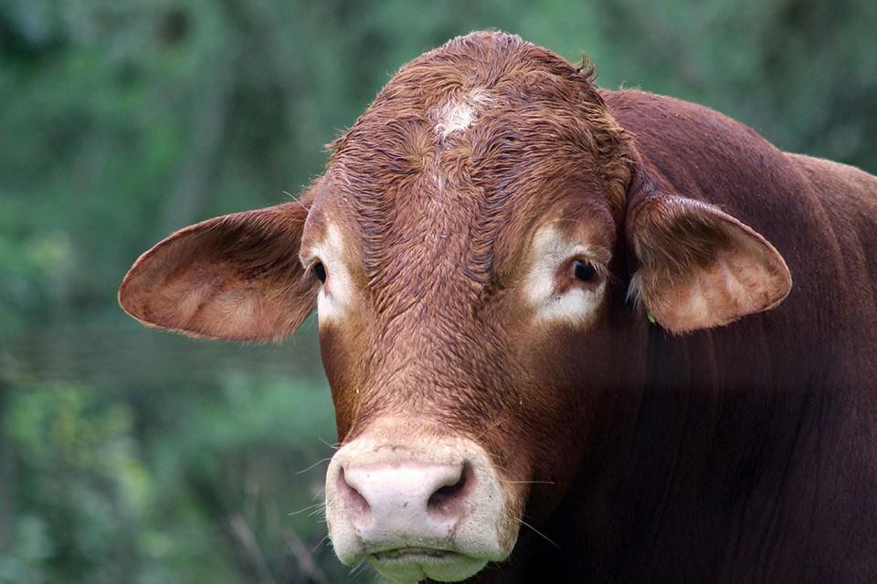 В США – массовый падеж домашнего скота и птицы