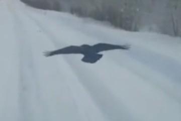 «Пернатый криминал»: в Якутии наглый ворон преследует машины ради еды