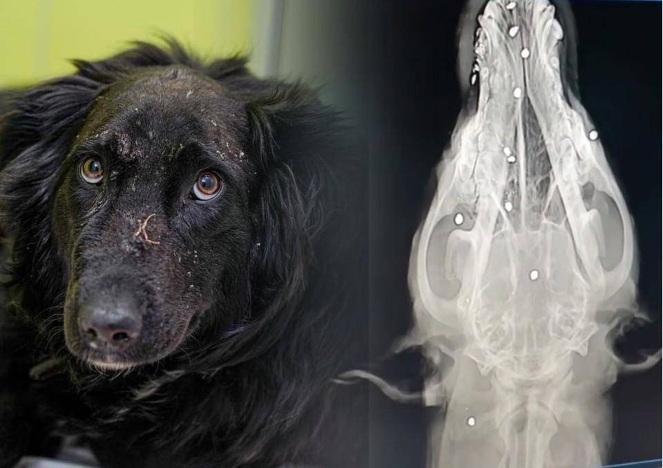 В теле собаки обнаружили около 30 пуль. Фото: клиника «Добрый хвост»