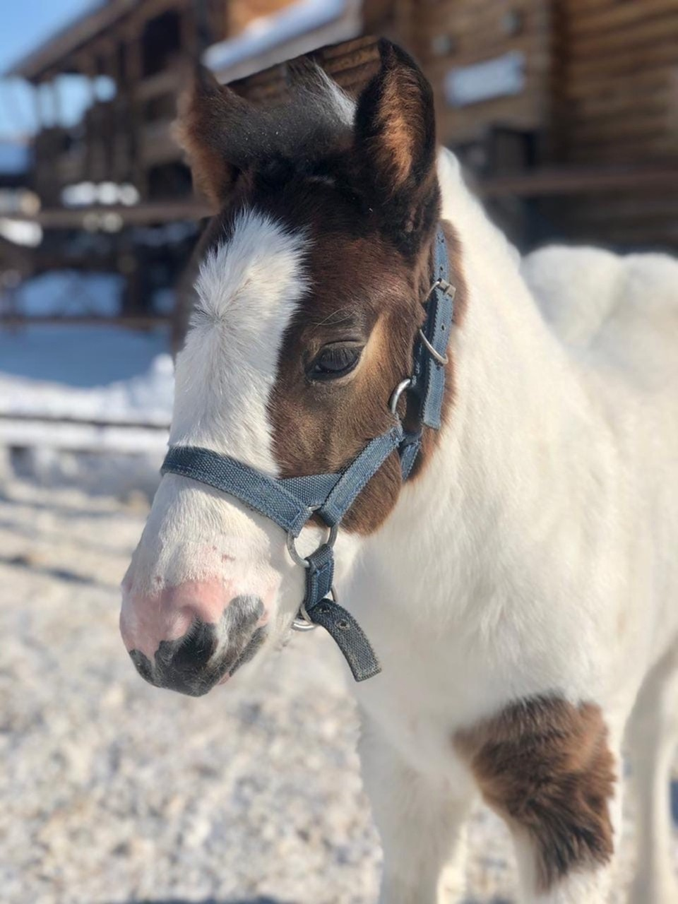 Родившуюся в зоопарке Удмуртии лошадку назвали Дейз – Джессика Фото: пресс-служба Зоопарка Удмуртии