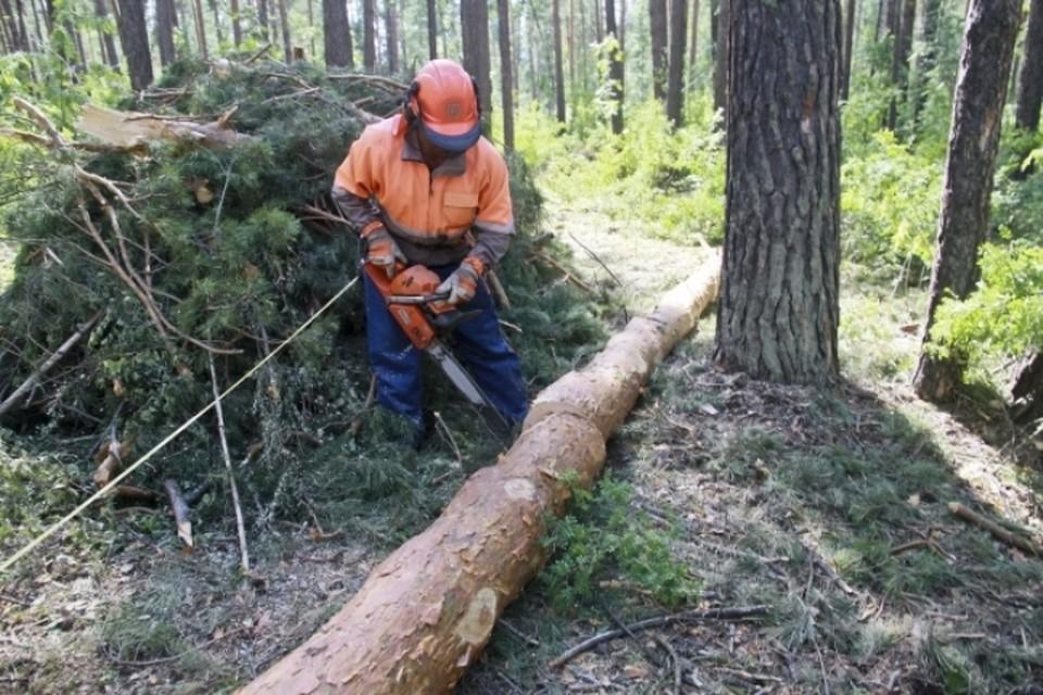 Миллион рублей заплатит кузбассовец за рубку деревьев