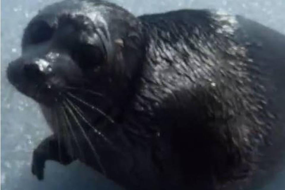Иркутский рыбак спас нерпу, застрявшую в байкальском льду.