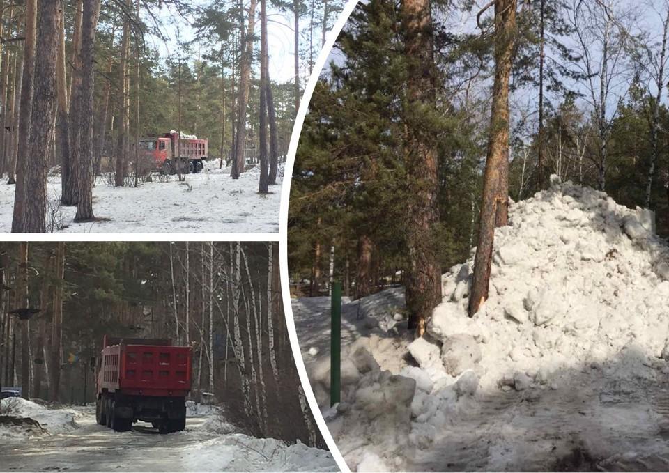 Снег, похоже, стабильно свозят в городской бор. Фото: Депутат Вахтина/t.me