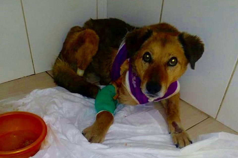 Пес с перерезанным горлом выжил и теперь его зовут Везунчик. Фото: Алена Толкачева/facebook