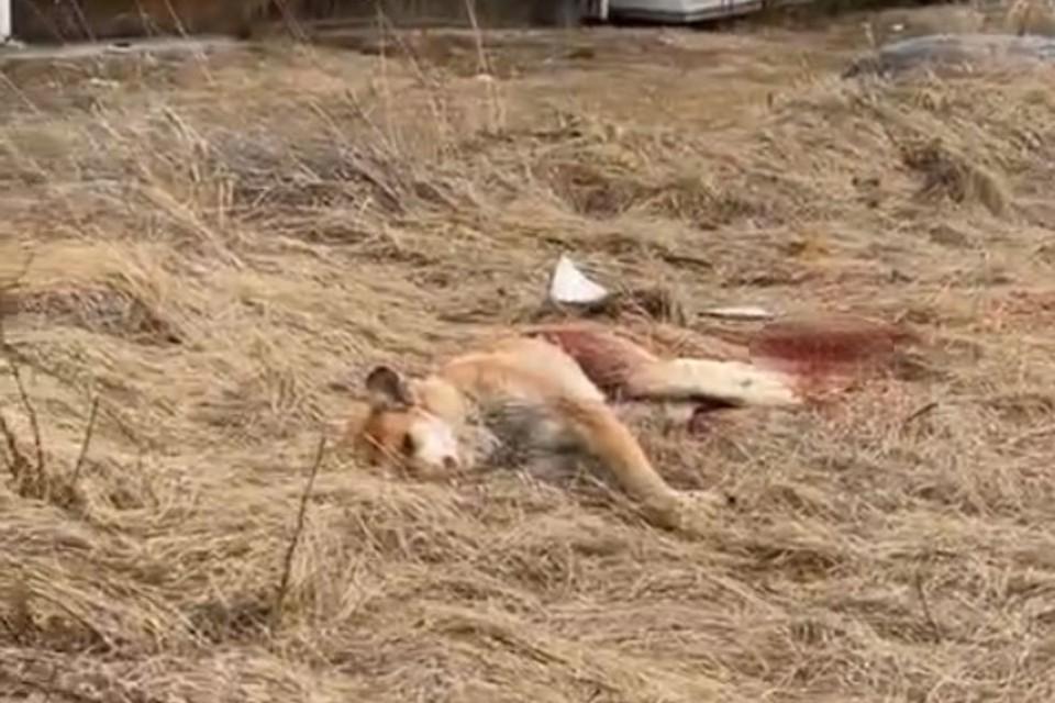 Собаку застрелили в микрорайоне Березовый в Иркутске. Фото: Елена Прадчук.