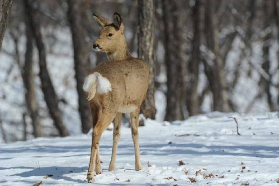 Под Новосибирском поймали браконьера, который истребил двух косуль.