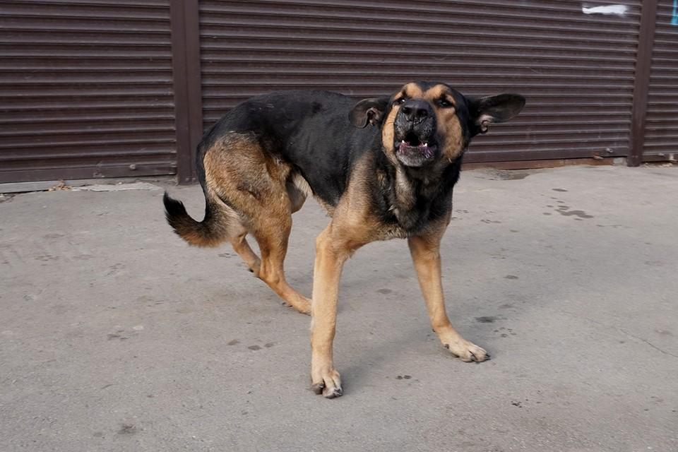 В Бурятии отловили двух собак, которые заживо загрызли пенсионерку