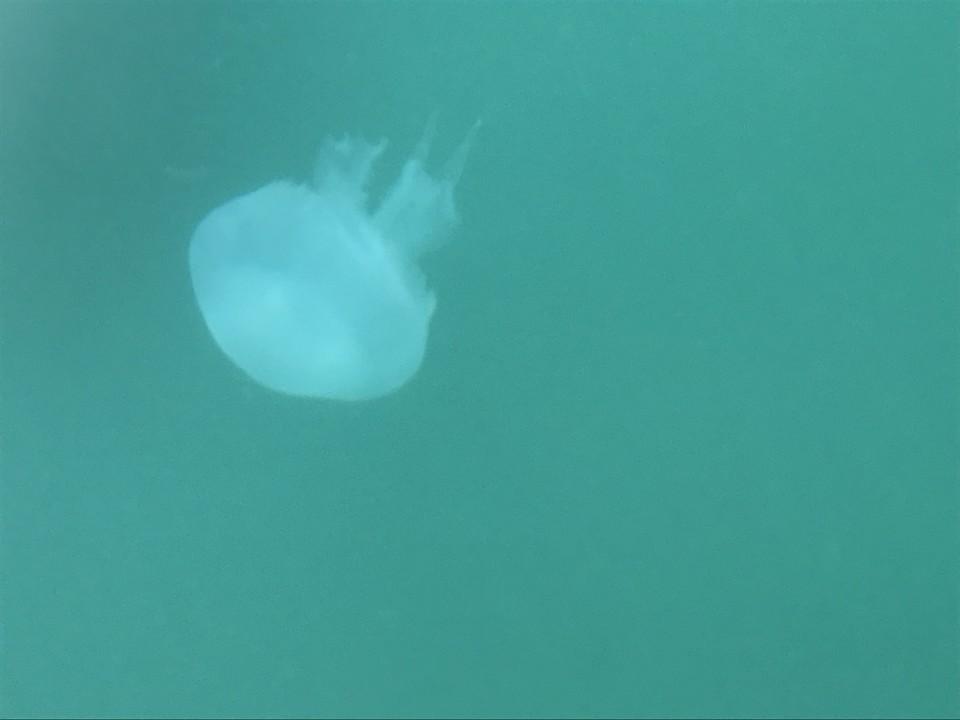 Корнероты - крупные медузы с синевато-розоватым куполом и плотными щупальцами