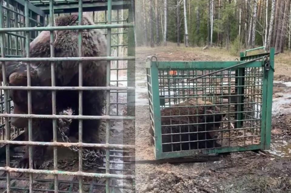 Медведь истощен, у него рваные раны и язвы по всему телу. Фото: Дарья Иллариошина