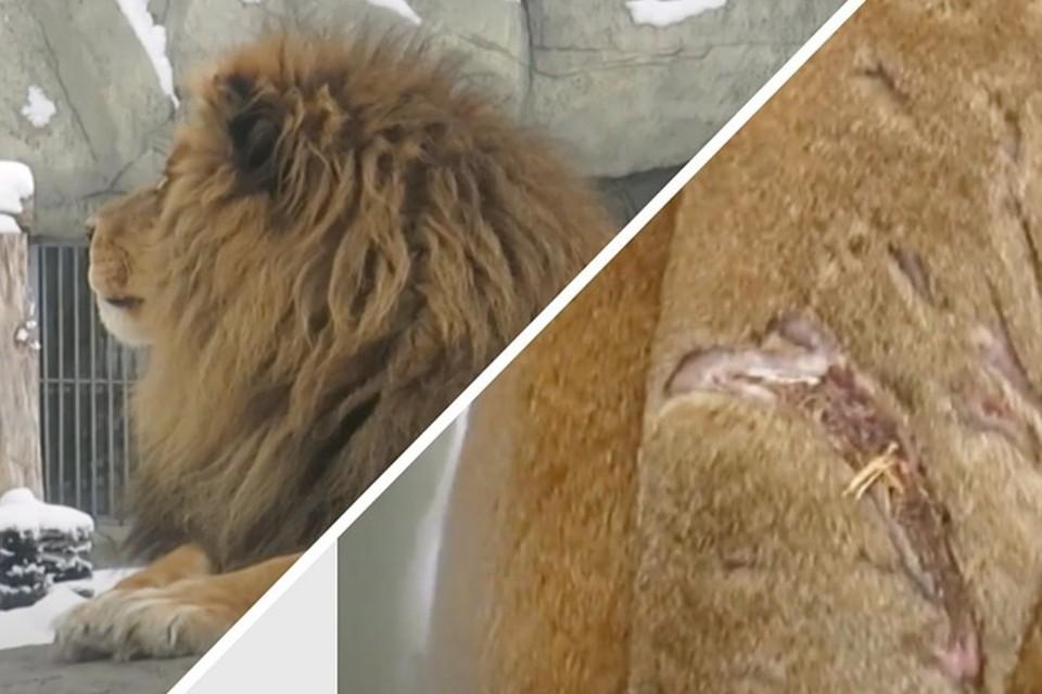 Серьезные шрамы на хвосте появились после драки с львицей. Фото: предоставлено автором
