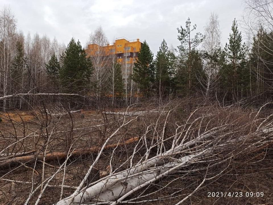 Лесорубы вырубили березы в роще. Фото: Александр Русяев