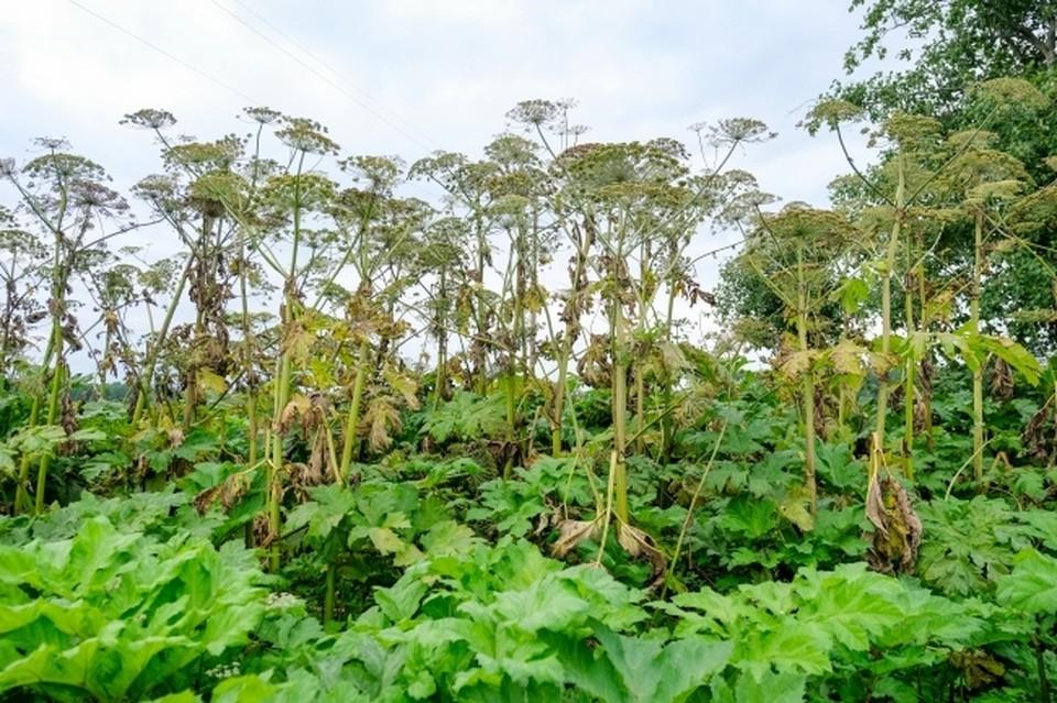 Растение обладает способностью вызывать сильные и долго не заживающие ожоги